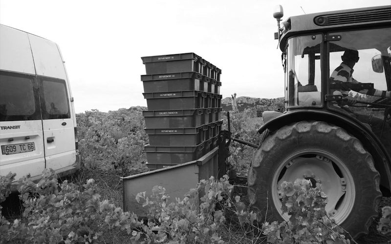 Hauling harvested grapes from the fields